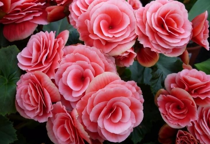 Flor Begonia. / Pixabay.